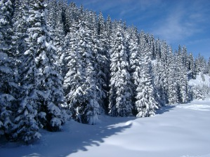 Snow covered forest of pine trees