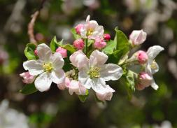 apple-tree-blossoms-john-brink