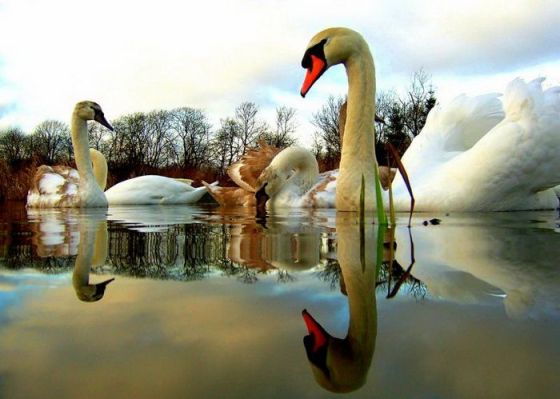 swans-on-water-reflection